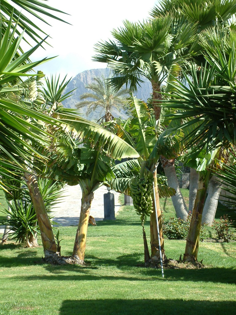 Drzewa bananowe na Teneryfie