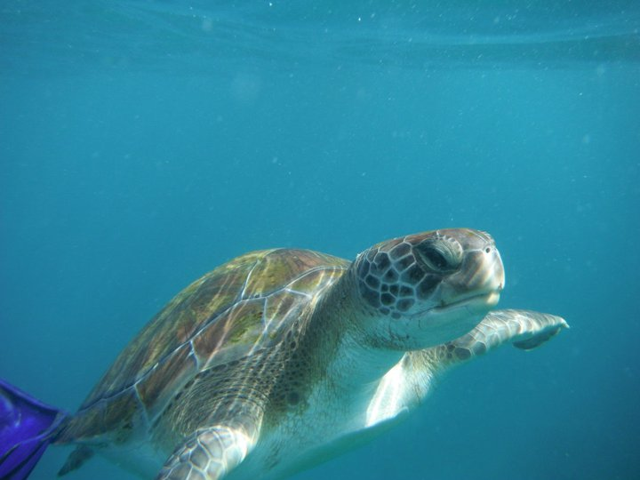 Żółw w El Puertito na Teneryfie