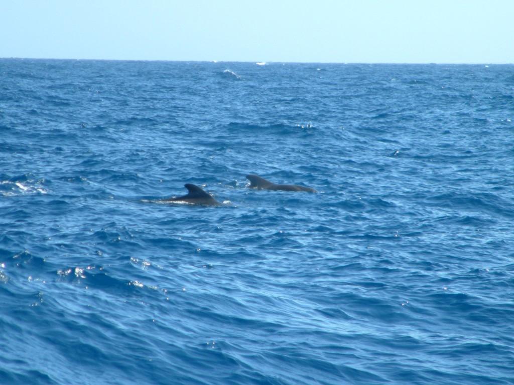 Delfiny i wieloryby przy Los Gigantes